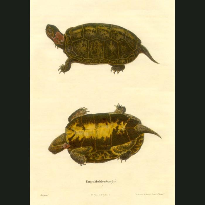 Fine art print for sale. Bog Turtle (Emys Muhlenbergii)