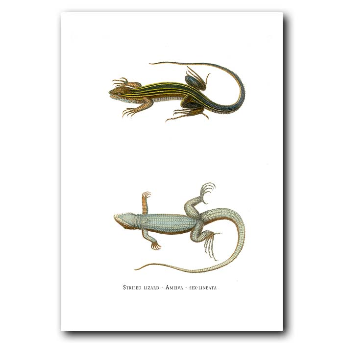 Fine art print for sale. Whiptail Or Striped Lizard (Ameiva Sexlineata)