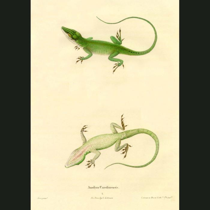 Fine art print for sale. Green Lizard (Anolius Carolinensis)