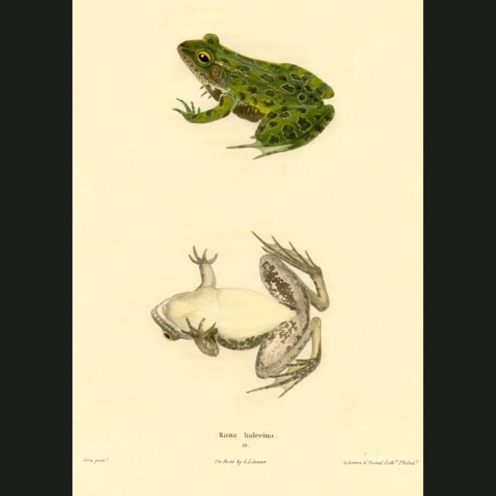 Fine art print for sale. Shad Frog (Rana Halecina)