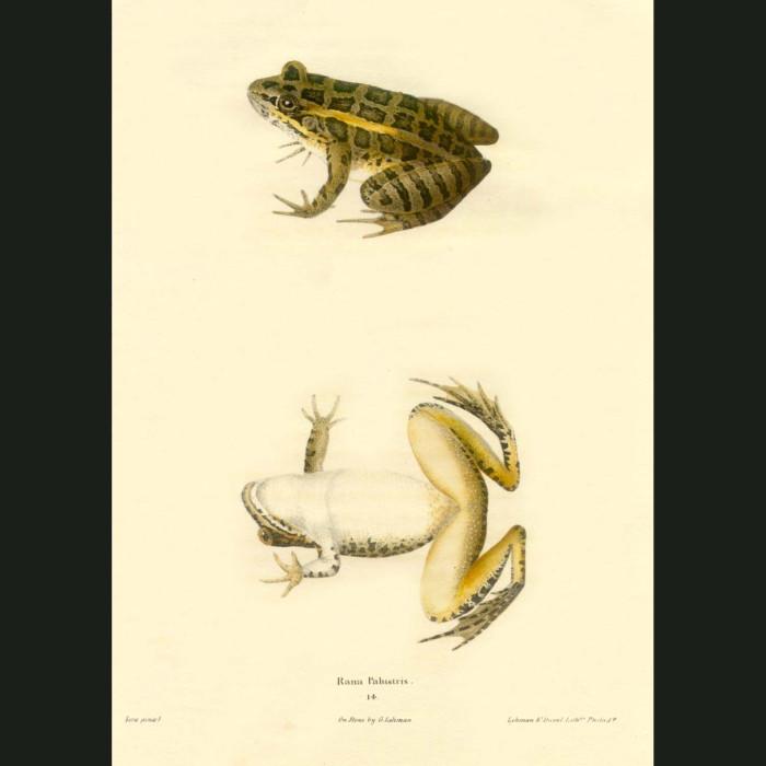Fine art print for sale. Pickerel Frog (Rana Palustris)