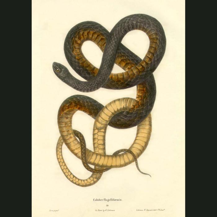 Fine art print for sale. Coach Whip Snake (Coluber Flagelliformis)