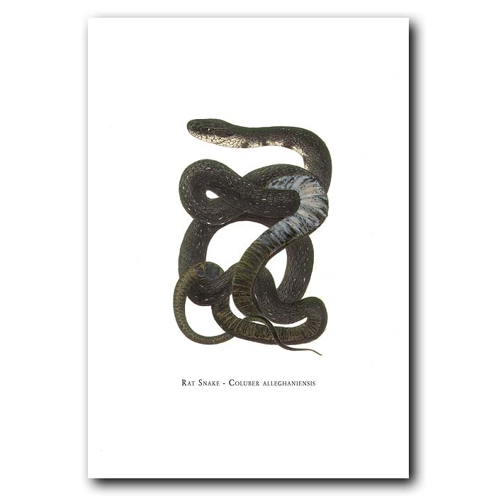 Fine art print for sale. Rat Snake (Coluber Alleghaniensis)