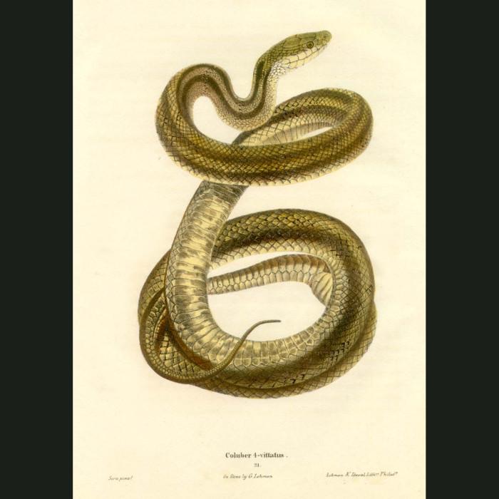 Fine art print for sale. Chicken Snake (Coluber Quadrivittatus)