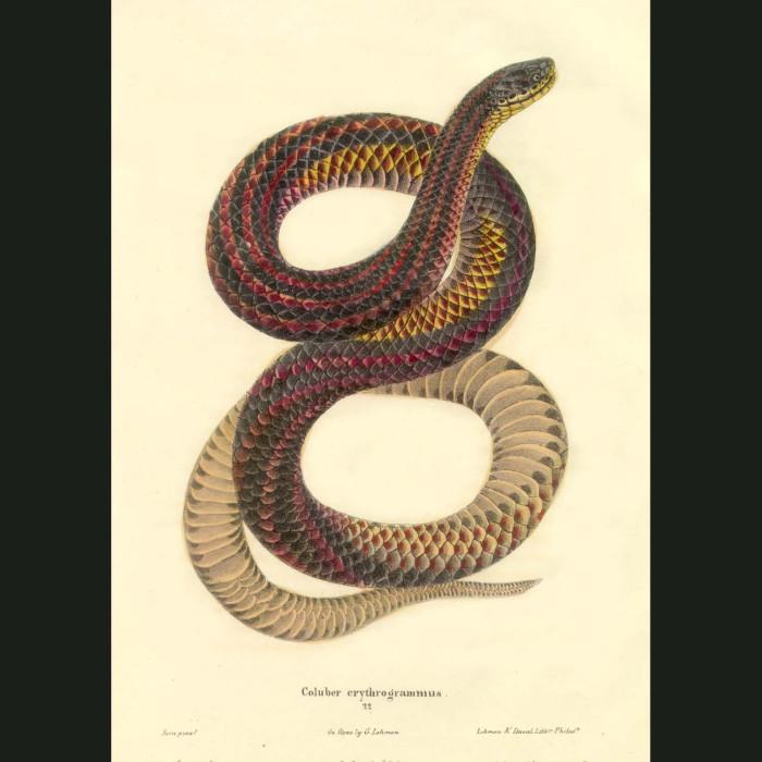 Fine art print for sale. Rainbow Constrictor Snake (Coluber Erythryogrammus)