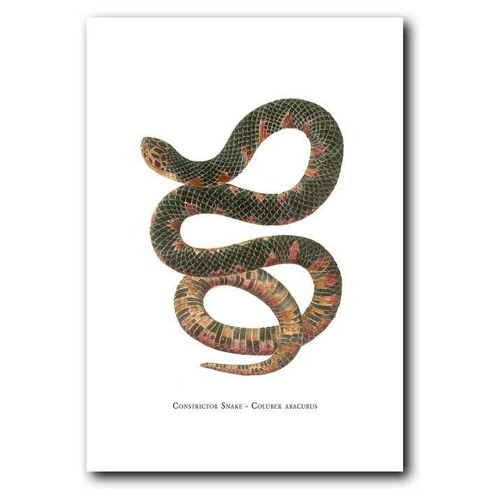Fine art print for sale. Constrictor Snake (Coluber Abacurus)