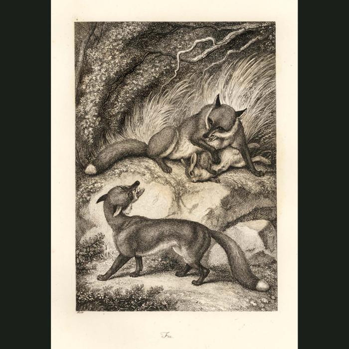 Fine art print for sale. Fox