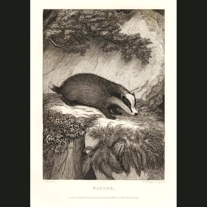 Fine art print for sale. Badger