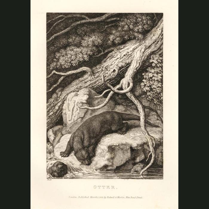 Fine art print for sale. Otter