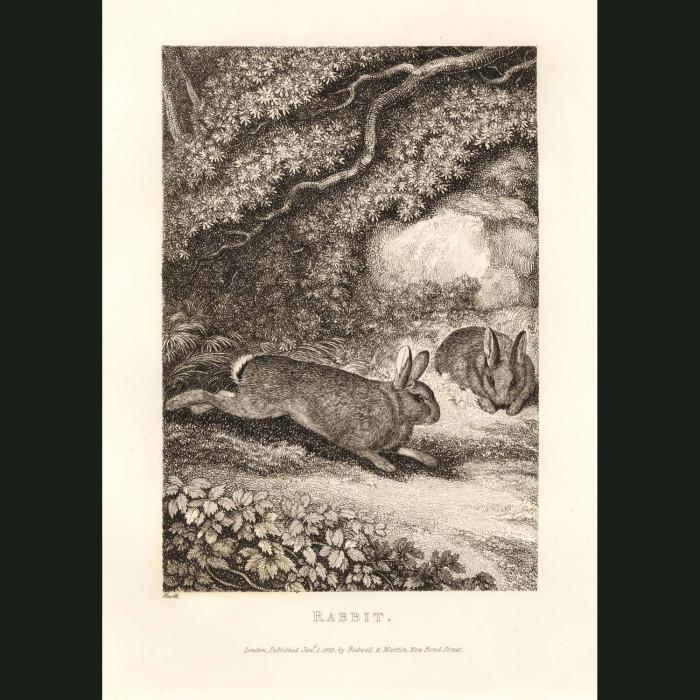 Fine art print for sale. Rabbit