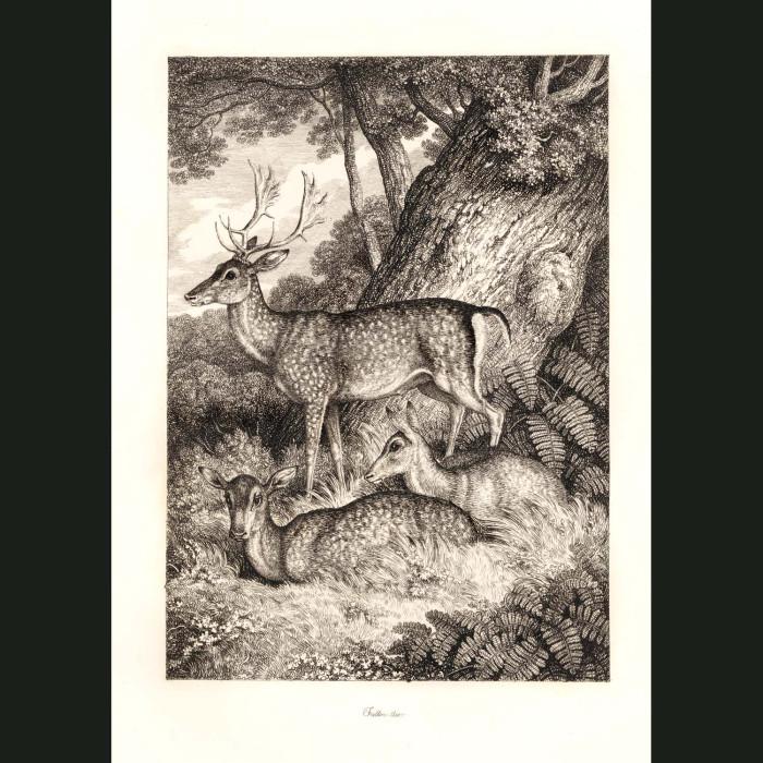 Fine art print for sale. Fallow Deer