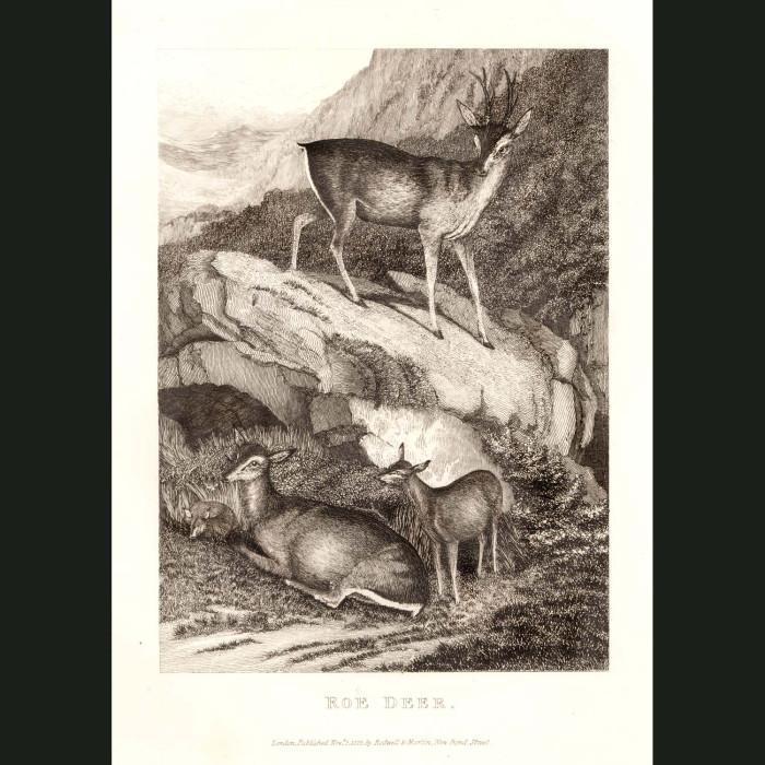 Fine art print for sale. Roe Deer