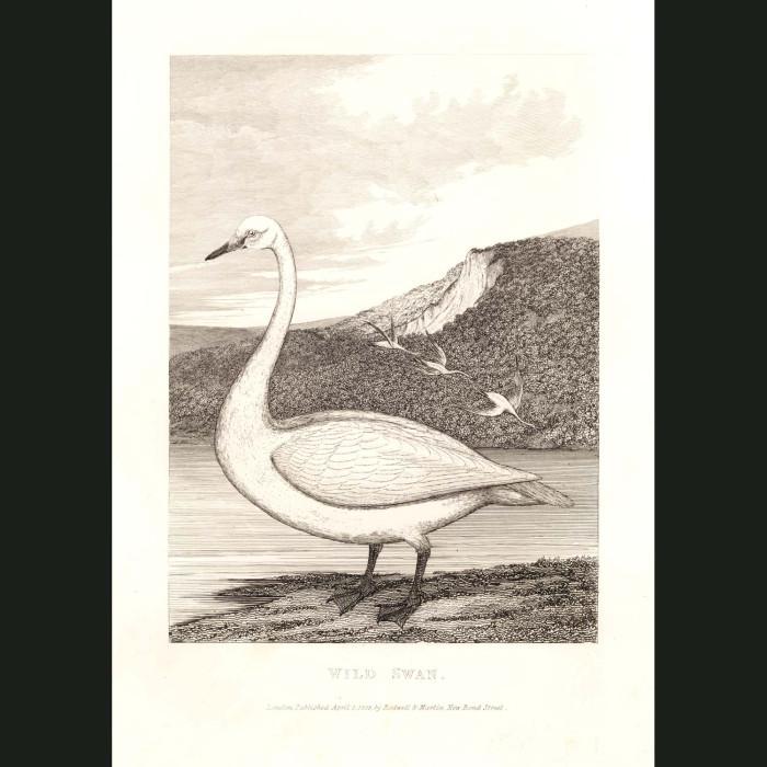 Fine art print for sale. Wild Swan