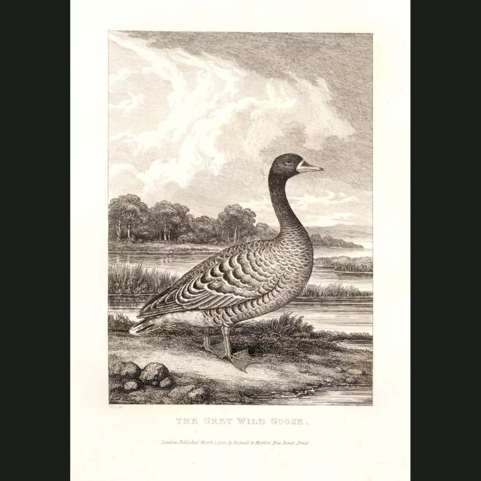 Fine art print for sale. Grey Wild Goose