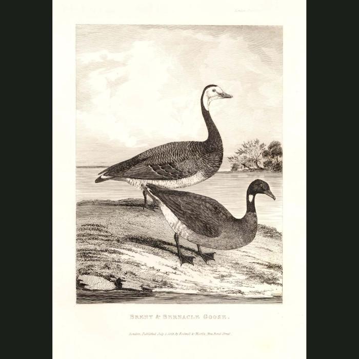 Fine art print for sale. Brent & Barnacle Goose