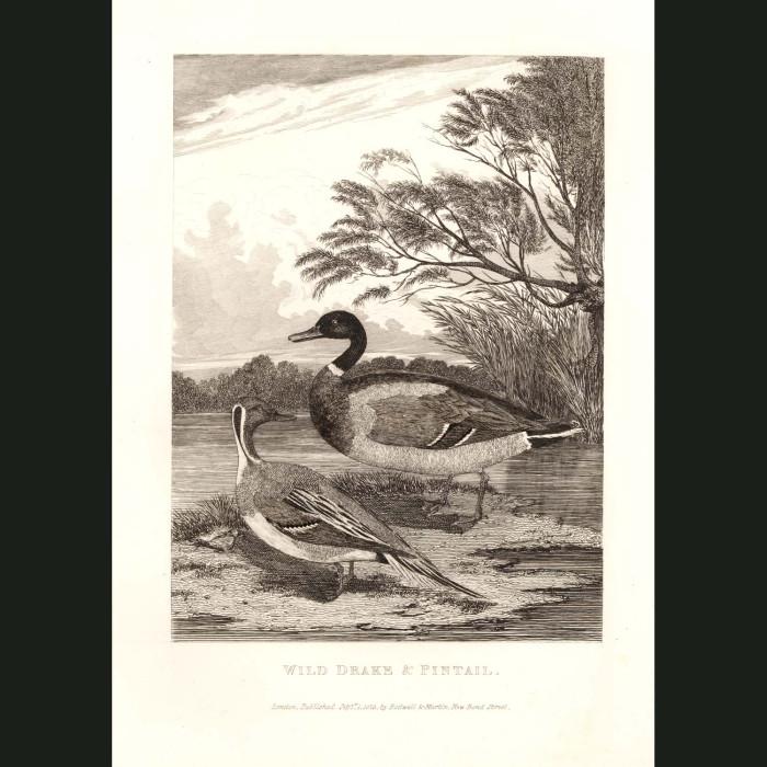 Fine art print for sale. Wild Drake & Pintail Duck