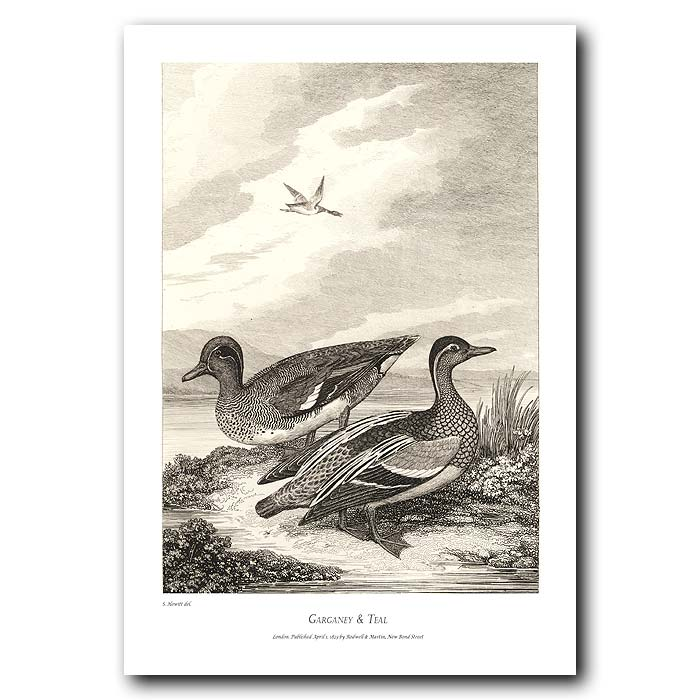 Fine art print for sale. Garganey & Teal Ducks