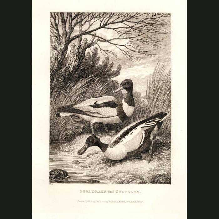 Fine art print for sale. Sheldrake & Shoveler Ducks