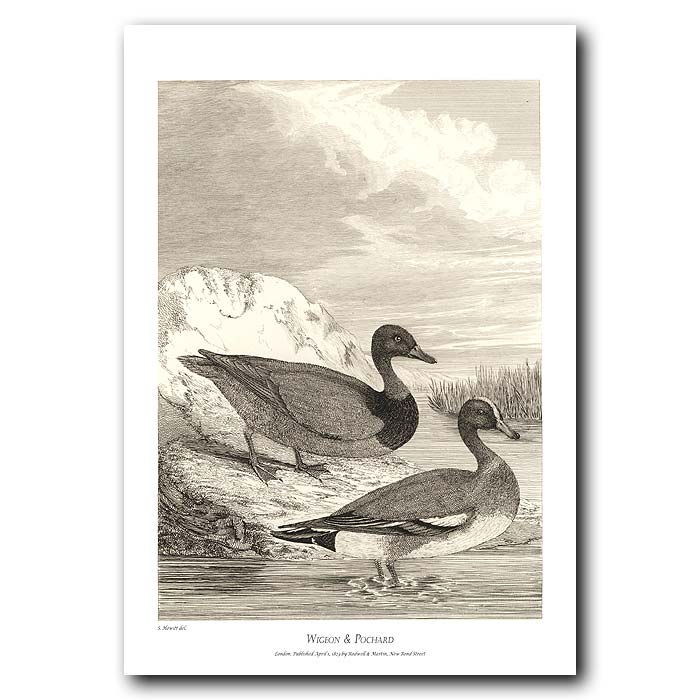 Fine art print for sale. Wigeon & Pochard Ducks