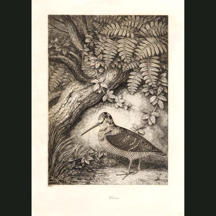 Fine art print for sale. Red & Common Godwit