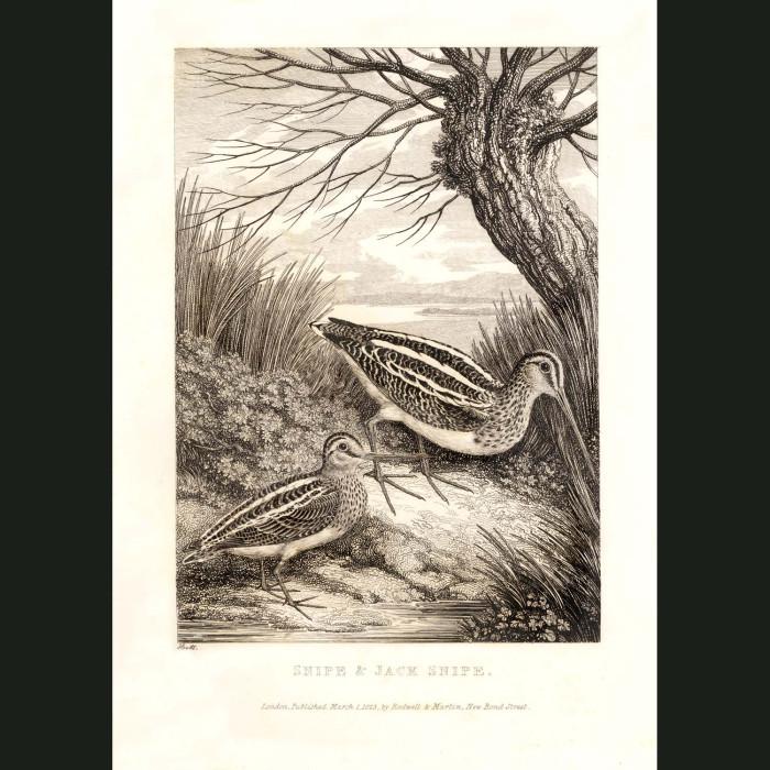 Fine art print for sale. Snipe & Jacksnipe Birds
