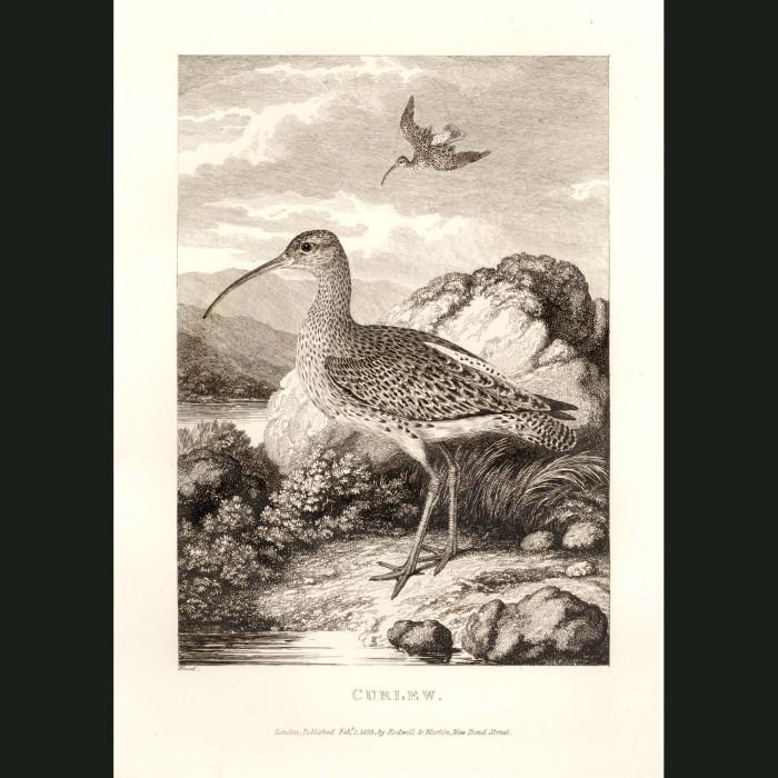 Fine art print for sale. Curlew Bird