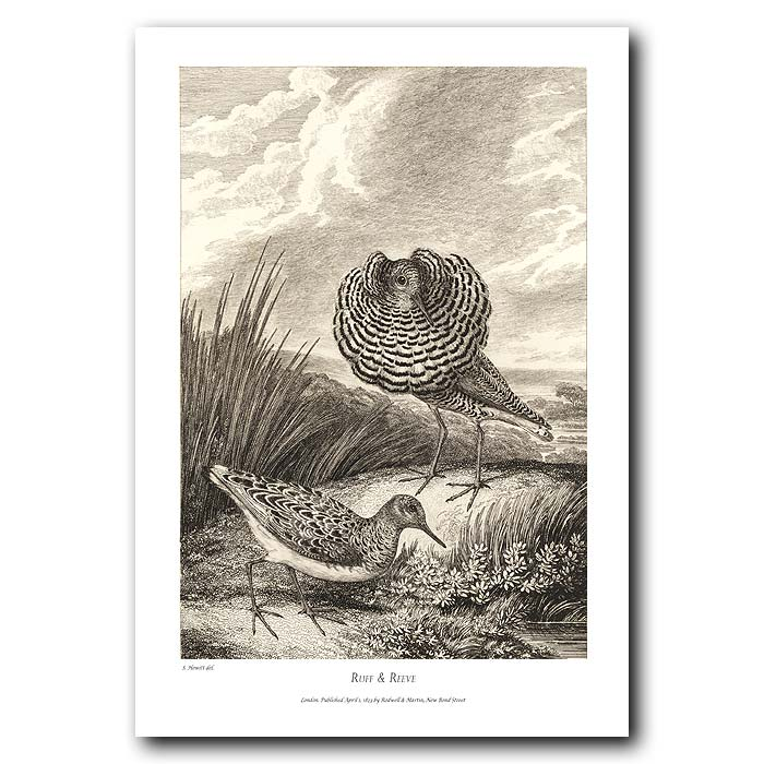 Fine art print for sale. Ruff & Reeve Birds