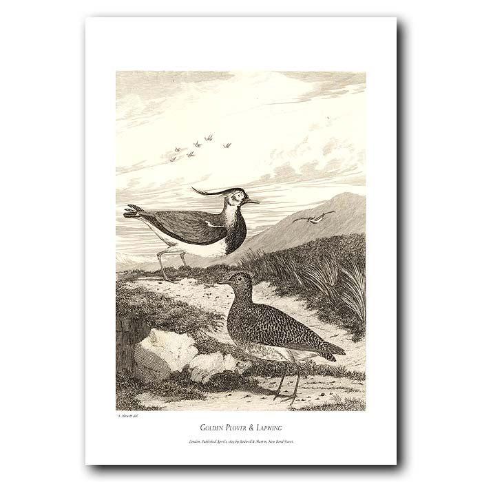 Fine art print for sale. Golden Plover & Lapwing