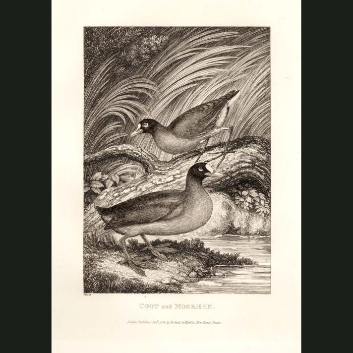 Fine art print for sale. Coot & Moorhen