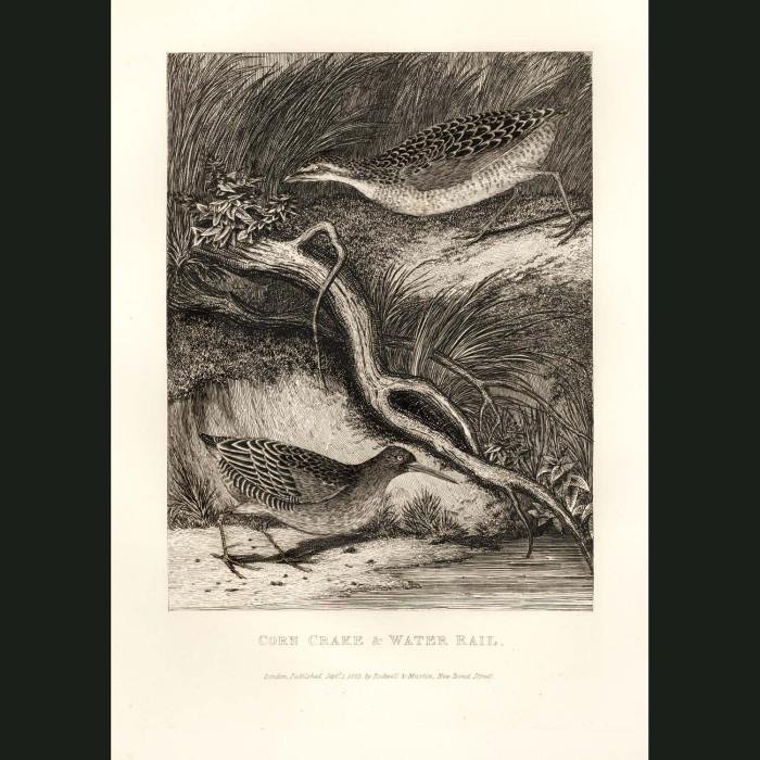 Fine art print for sale. Corncrake & Water Rail