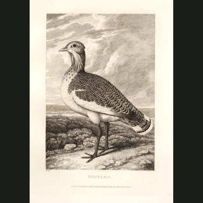 Fine art print for sale. Bustard Bird