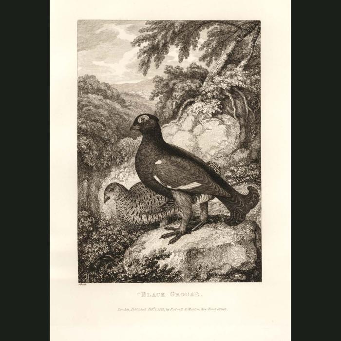 Fine art print for sale. Black Grouse