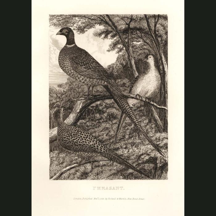 Fine art print for sale. Pheasant