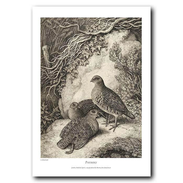 Fine art print for sale. Partridge