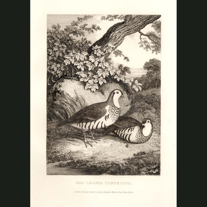 Fine art print for sale. Red Legged Partridge