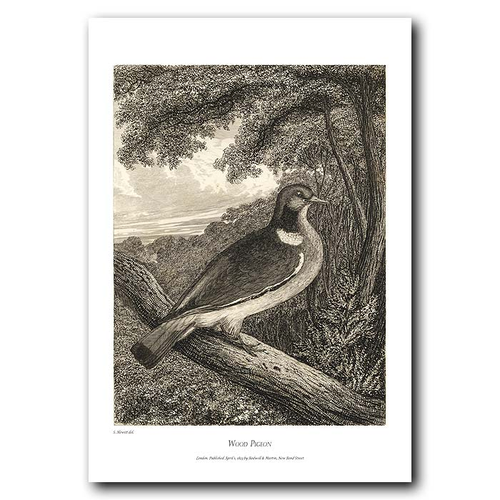 Fine art print for sale. Wood Pigeon