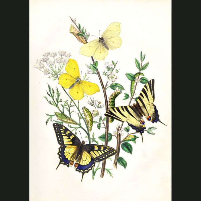 Fine art print for sale. Swallow Tail & Brimstone Butterflies.