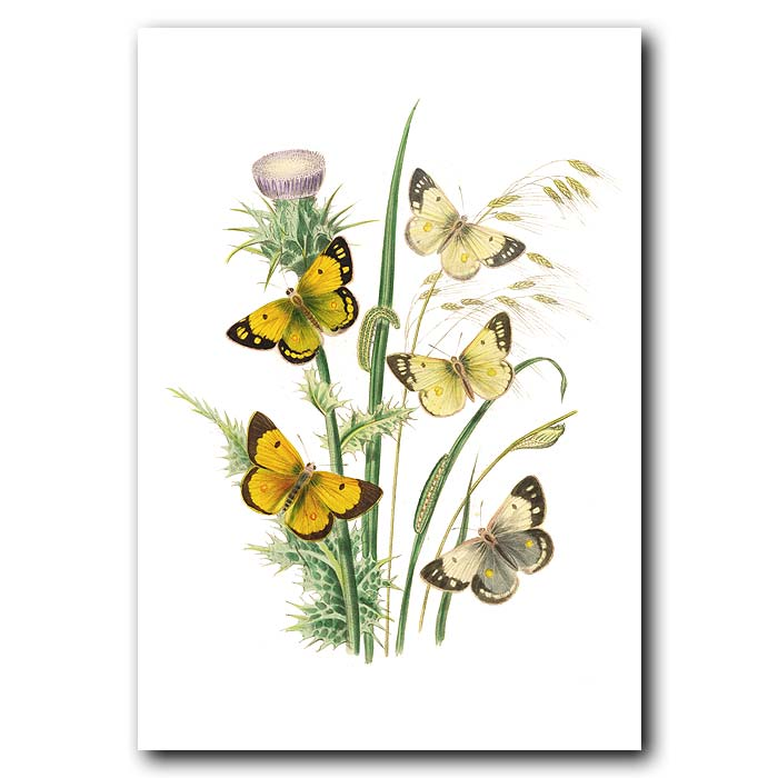 Fine art print for sale. Clouded Yellow Butterflies On Milk Thistle
