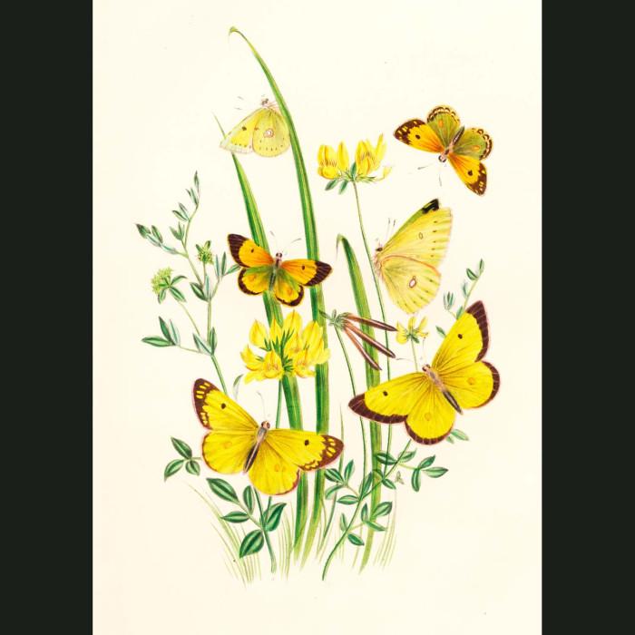 Fine art print for sale. Clouded & Sulphur Yellow Butterflies