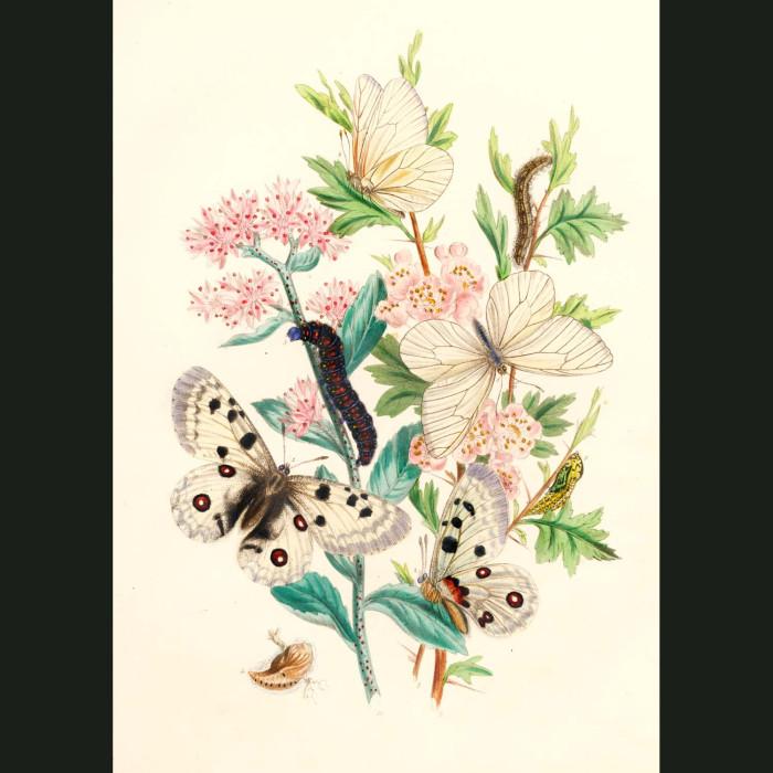 Fine art print for sale. Apollo & Black Veined Butterflies