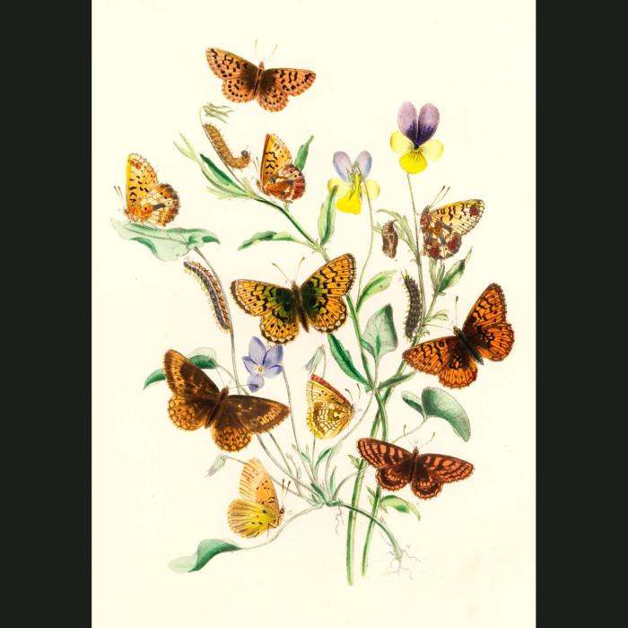 Fine art print for sale. Glanville & Pearl Butterflies On Speedwell