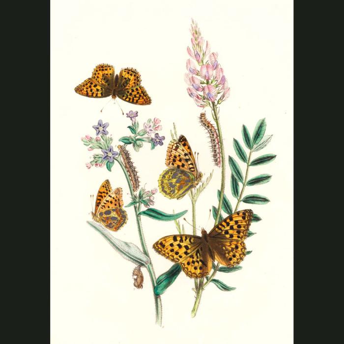 Fine art print for sale. Queen Of Spain And Fritillary Butterflies