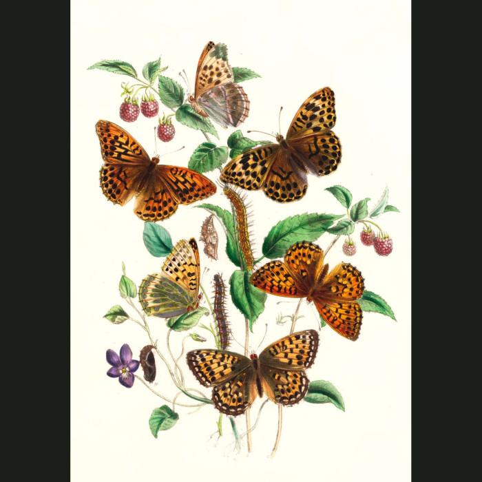 Fine art print for sale. Silver Washed & Dark Green Butterflies
