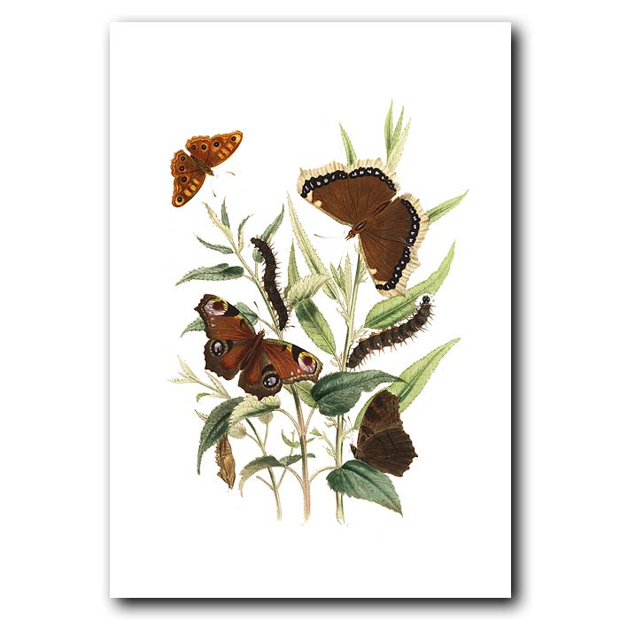 Fine art print for sale. Peacock & Camberwell Beauty Butterflies On Willow