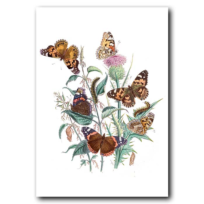 Fine art print for sale. Red Admiral Butterfly On Thistle