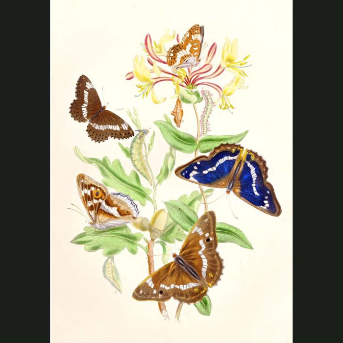 Fine art print for sale. Purple Emperor & White Admiral Butterflies.