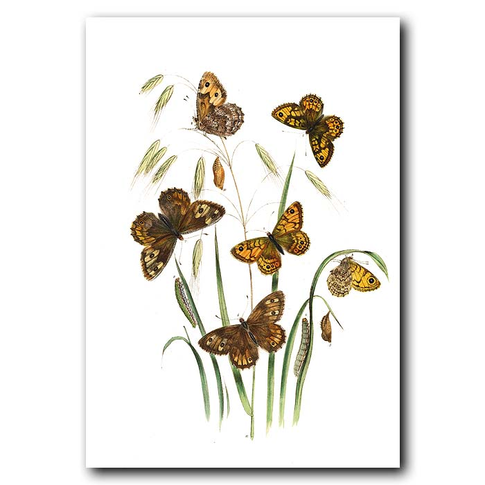 Fine art print for sale. Wall And Grayling Butterflies On Brome Grass