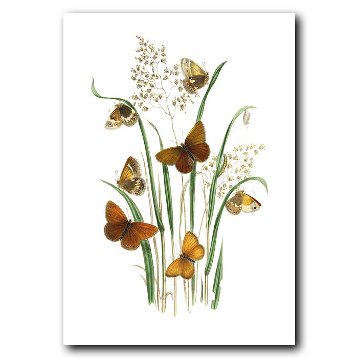 Fine art print for sale. Ringlet And Heath Butterflies On Wild Grass