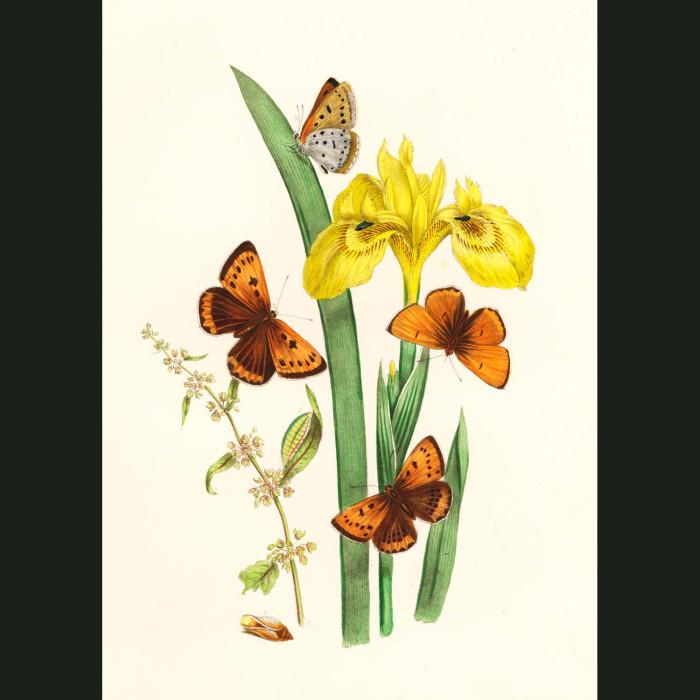 Fine art print for sale. Copper Butterflies On Yellow Water Iris