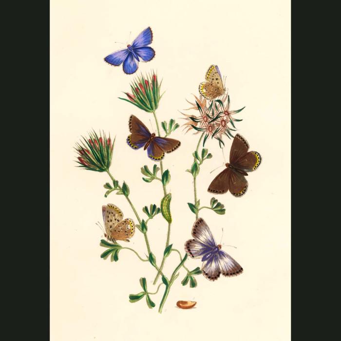 Fine art print for sale. Azure & Chalk Hill Blue Butterflies